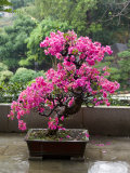 Buy Spring Blossoms cover Bonsai, The Chi Lin Buddhist Nunnery, Wong Tai Sin District, Hong Kong, China at AllPosters.com