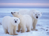 Polar Bear Sow with Cubs, Arctic National Wildlife Refuge, Alaska, USA,