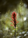 Indian Paintbrush and Grass