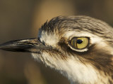 Close Up Bush Stone Curlew Nictitating Membrane over Eye