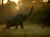 African Elephant (Loxodonta Africana) with Trunk in the Air
