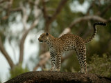 Leopard (Panthera Pardus) Stands on a Tree Branch