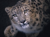 Curious, Predatory Stare of a Female Snow Leopard Stalking Prey