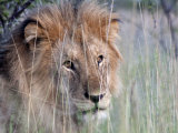 Male African Lion, Panthera Leo, in Tall Grasses