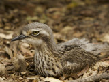 Bush Stone Curlew, Burhinus Grallarius, Camouflaged in Leaf Litter