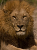 Portrait of a Resting Male African Lion, Panthera Leo