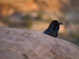Raven on the Island-In-The-Sky in Canyonlands National Park, Utah