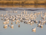 Snow Geese at the Bosque Del Apache National Wildlife Refuge