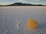 Tumbleweed on the Bonneville Salt Flats, Utah