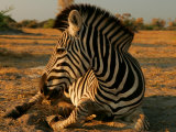 Zebra Laying on the Ground