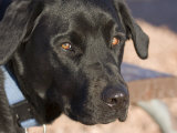 Portrait of a Black Lab at Goosenecks State Park, Utah