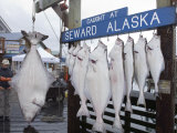 350 Pound Halibut (Pleuronectidae) in Seward, Alaska