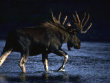 Seaking Peace and Quiet, a Bull Moose Slips across a River to Rest