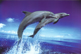 Buy Dolphins - Leap at AllPosters.com