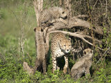 Cheetah Cubs Climbing a Tree, Ndutu, Ngorongoro, Tanzania