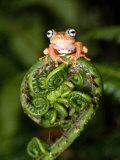 Close-Up of a Blue-Eyed Tree Frog on a Fern Frond, Andasibe-Mantadia National Park, Madagascar