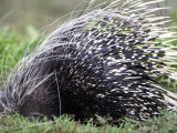 Close-Up of a Porcupine, Ndutu, Ngorongoro, Tanzania