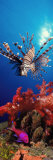 Buy Lionfish and Squarespot Anthias with Soft Corals in the Ocean at AllPosters.com