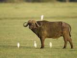 Cape Buffalo Standing with Cattle Egrets, Lake Manyara, Tanzania