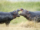 Two Hippopotamuses Sparring in a Forest, Ngorongoro Crater, Ngorongoro, Tanzania
