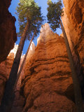 Utah, Bryce Canyon National Park, Douglas Fir Trees in Slot Canyon, USA