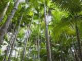 Queensland, Fraser Island, Tropical Palms in the Rainforest Area of Wanggoolba Creek, Australia