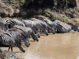 Burchell's Zebras Drinking Water from a River, Mara River, Masai Mara National Reserve, Kenya