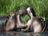 Two Hippopotamuses Fighting in Water, Ngorongoro Crater, Ngorongoro, Tanzania