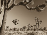 California, Joshua Tree National Park, Joshua Trees, USA