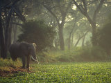 Elephant in the Early Morning Mist Feeding on Water Hyacinths, Mana Pools, Zimbabwe