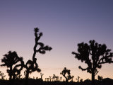 California, Joshua Tree National Park, Joshua Tree, Yucca Brevifolia, in Hidden Valley, Dawn, USA