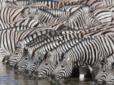 Burchell's Zebra, at Waterhole, Etosha National Park, Namibia, Africa