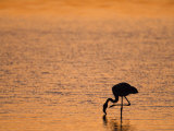 Greater Flamingo, at Dusk, Walvis Bay Lagoon, Namibia, Africa