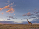 Giraffe, at Dusk, Etosha National Park, Namibia, Africa