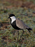 Spur-Winged Plover, Masai Mara National Reserve