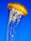 Sea Nettle Jellyfish, Monterey Aquarium