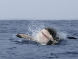 Great White Shark, Breaching, Seal Island, False Bay, Cape Town Photographic Print