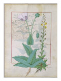 Poppy and Figwort, Illustration from 'The Book of Simple Medicines' by Mattheaus Platearius