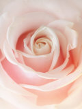Still Life Photograph, a Pink Rose, Shot with Shallow Dof