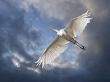 Egret Flying Beneath Dark Clouds