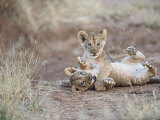 Two Male Lion Cubs Wrestle on the Trail in Samburu, Kenya, East Africa