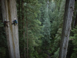 Buy Botanists Take a Core Sample of a 350-Foot Giant Redwood Tree at AllPosters.com