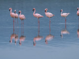 Lesser Flamingos Preening and Resting in a Shallow Alkaline Lake Photographic Print