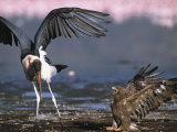 Marabou Stork Tries to Steal a Dead Flamingo from a Steppe Eagle Photographic Print