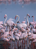 Greater and Lesser Flamingos Feeding at the Edge of an Alkaline Lake Photographic Print
