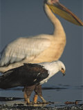 African Fish Eagle and Great White Pelican on Alkaline Lake Shore Photographic Print