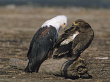 African Fish Eagle and a Steppe Eagle Perched Together on a Log Photographic Print