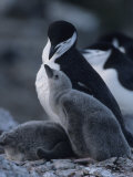 Chin Strap Penguin and it's Chicks at a Rookery Photographic Print
