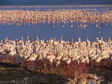 Lesser Flamingos Sensing Danger Move Away from Shore to Deeper Water Photographic Print