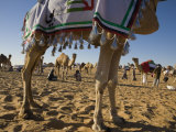 Camels are Decorated with Tassels for the Annual Beauty Contest
